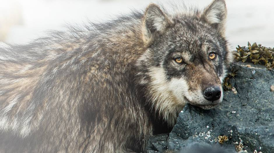 Save BC Wolves - The top crowdfunding campaigns of the month